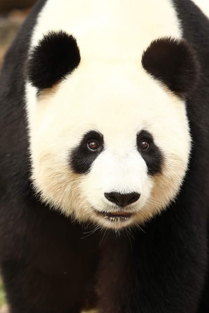 panda pregnancy, giant panda endangered