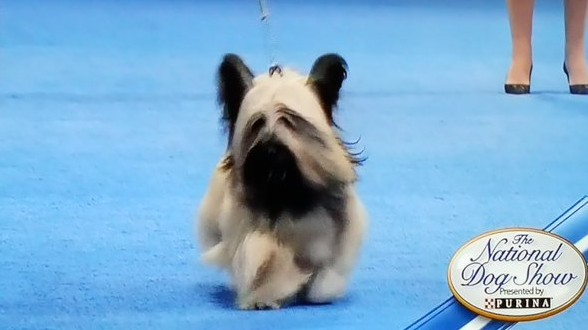 Charlie the Skye Terrier is the Best in Show winner at the 2015 National Dog Show. (Twitter/StartingGateMkt)