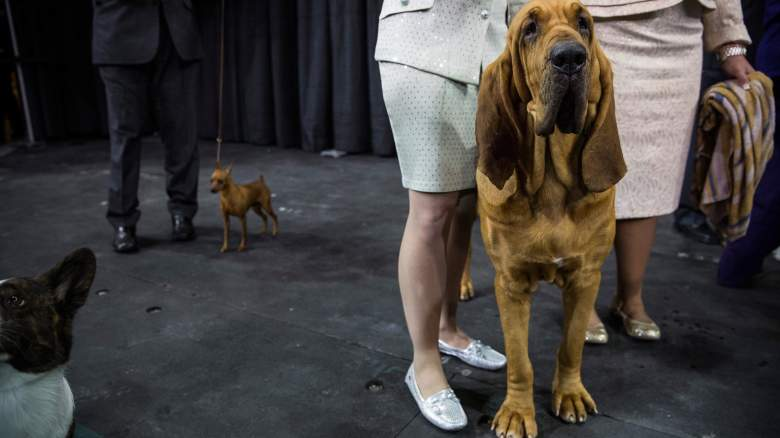 Nathan the bloodhound won Best in Show at the 2014 National Dog Show. (Getty)