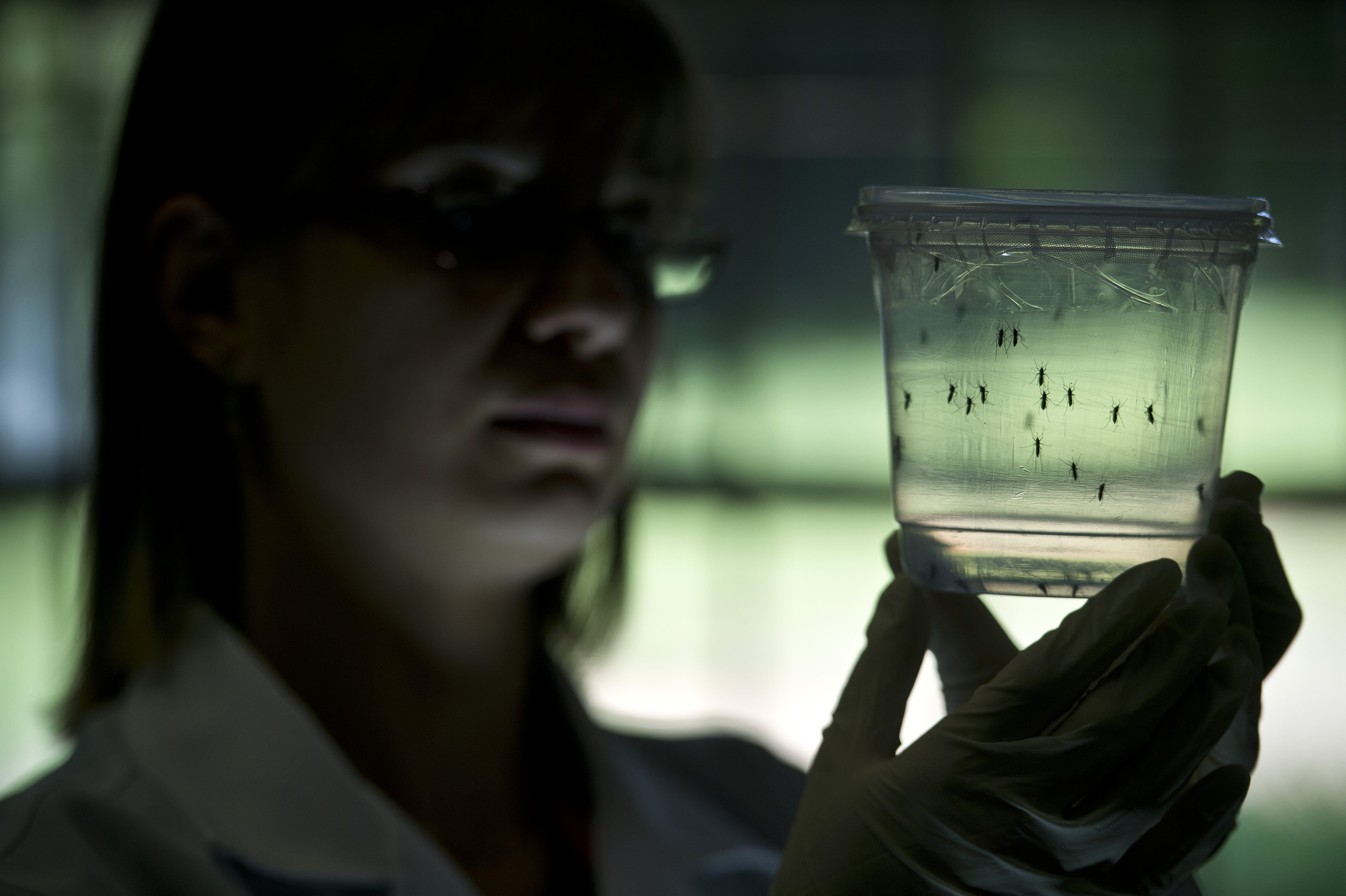 Aedes aegypti mosquitos are seen in containers at a lab of the Institute of Biomedical Sciences of the Sao Paulo University, on January 8, 2016 in Sao Paulo, Brazil. (Getty)