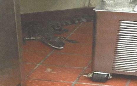 gator wendys florida