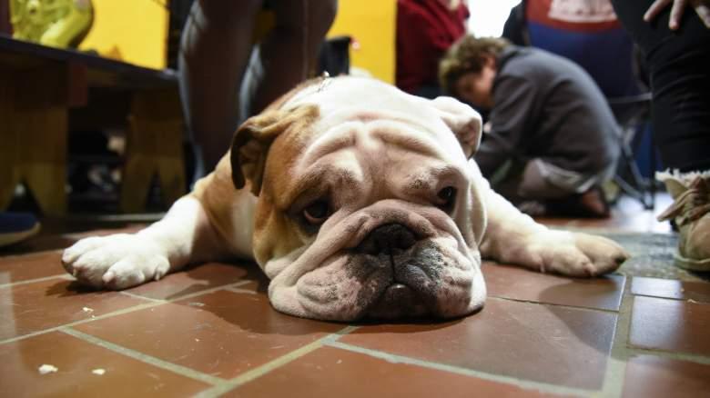 westminster dog show, westminster dog show tv, westminster dog show time