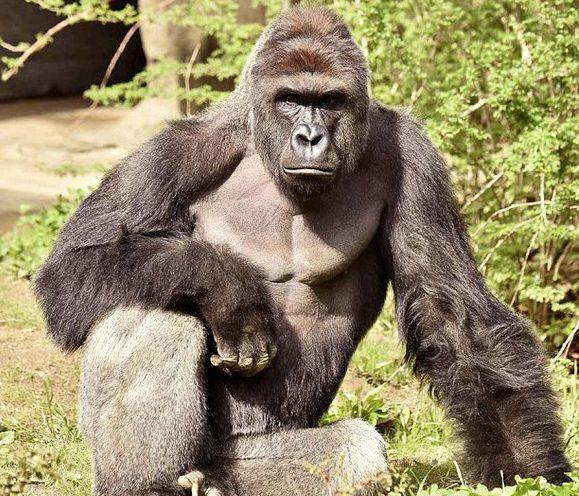 harambe the gorilla, harambe gorilla