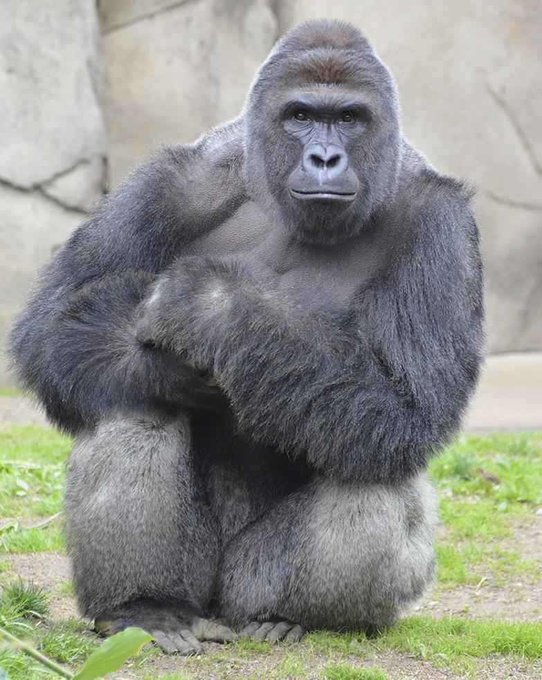 harambe, harambe gorilla