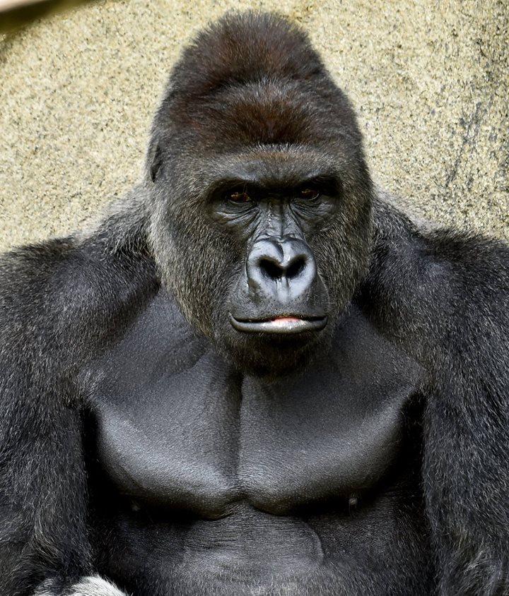 harambe gorilla, harambe cincinnati zoo, gorilla cincinnati zoo, cincinnati zoo gorilla video