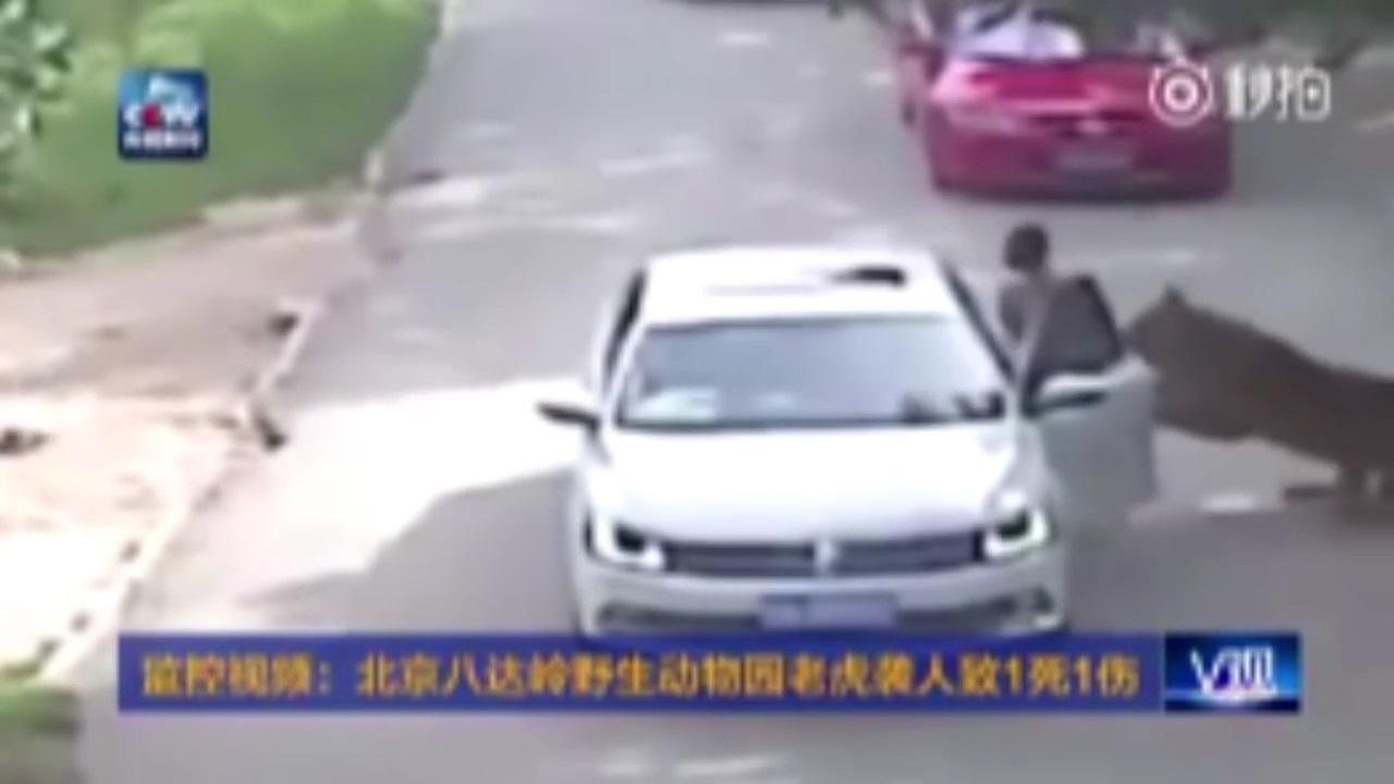 china tiger attack video, beijing china tiger attack video, tiger attacks woman video full