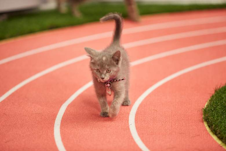 """""""Kitten Summer Games"""" is hosted by Beth Stern with announcers Mary Carillo and David Frei and features the nation's most athletic and adoptable kittens competing in a series of sporting events. Cat-letes will compete in competitions including kitten gymnastics with balance beam, uneven bars, rings and floor exercises, de-CAT-hlon with track and field, pole vault and high jump, as well as volleyball, tennis and wrestling. Who will bring home a gold, silver or bronze medal?  Photo:  Credit: Copyright 2016 Crown Media United States LLC/Photographer: Marc Lemoine"""