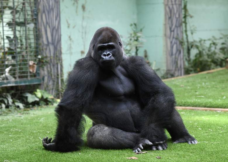 Gorilla Escapes from London Zoo, London Zoo on lockdown after gorilla escape