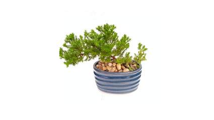 Valentine's Day, gifts for men, valentine, gift ideas, gift ideas for men, gifts for him, gifts for husband, bonsai, bonsai tree, bonsai plants