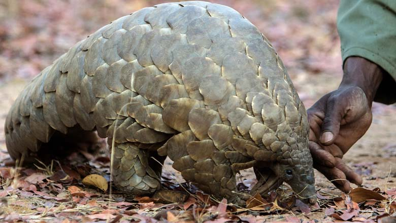 What Is a Pangolin?