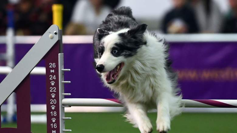 westminster dog show 2017 tv, when is the westminster dog show, westminster dog show 2017 tv schedule, channel, start time, live stream, dates