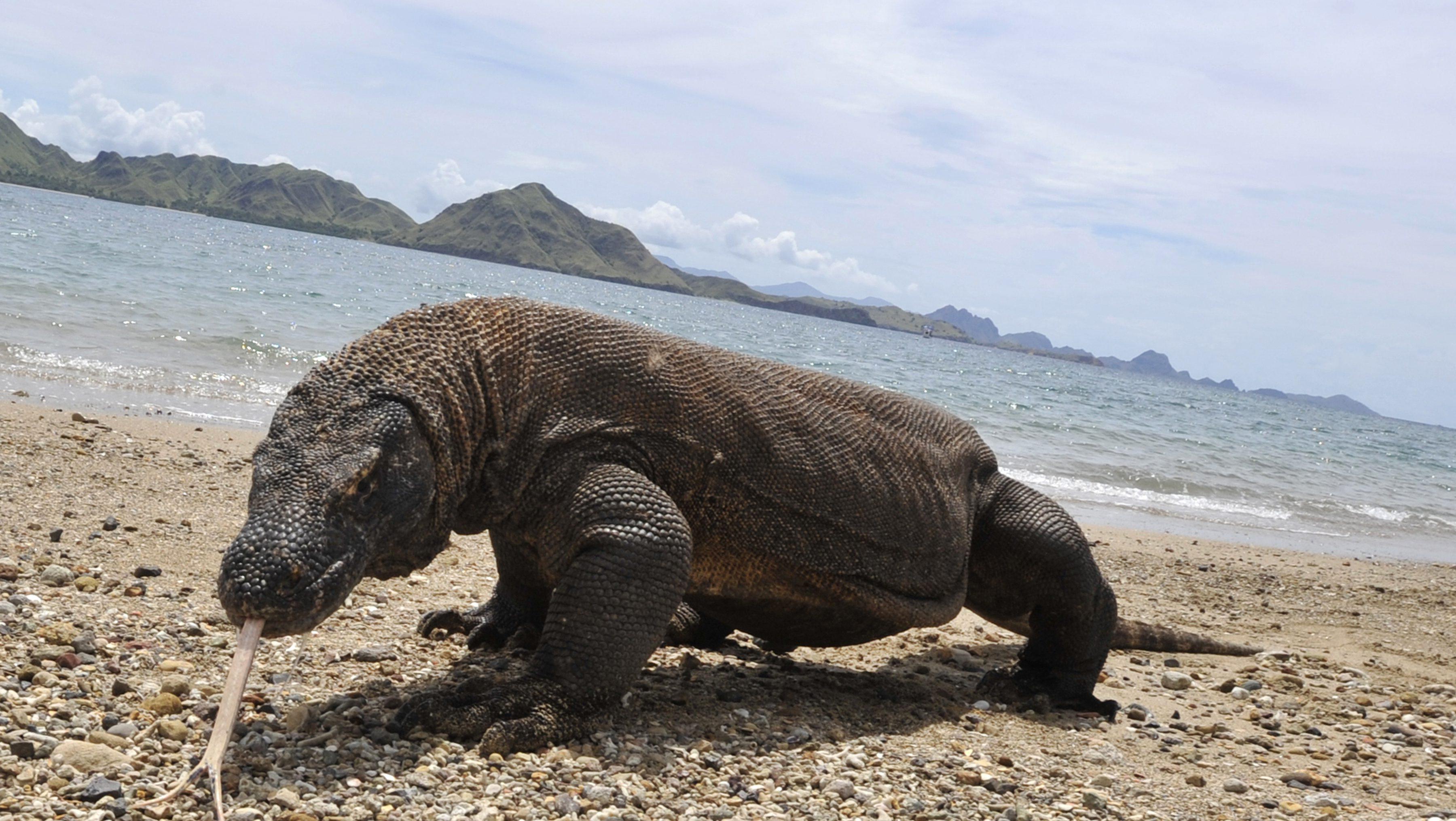 komodo dragons, where is komodo national park, are komodo dragons endangered