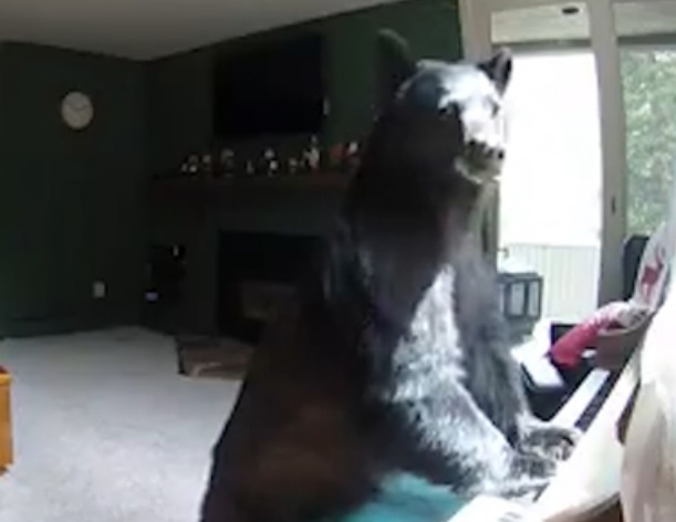 bear playing piano