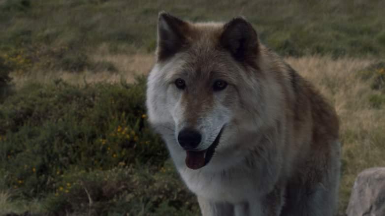 summer direwolf