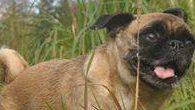 loca the pug