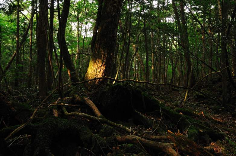 suicide forest, suicide forest japan