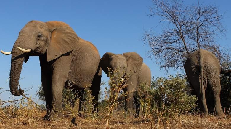 elephants unique brain structures