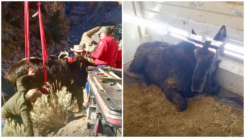 moose rescued from canyon
