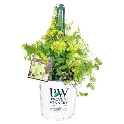 Proven Winners Humulus Summer Shandy Hops Vine