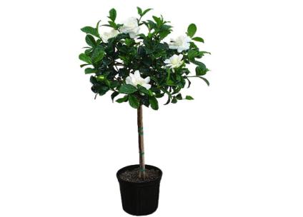 Supreme Gardenia Tree Live Plant