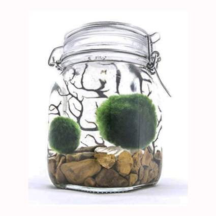 Marimo aquarium starter kit