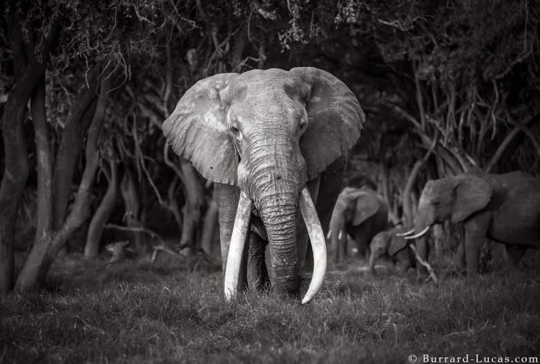 big tusker elephant