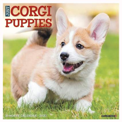 corgi puppies calendar