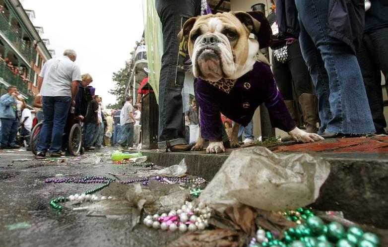 A bulldog at Mardi Gras
