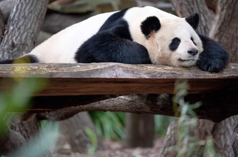 National Napping Day Panda Sleeping