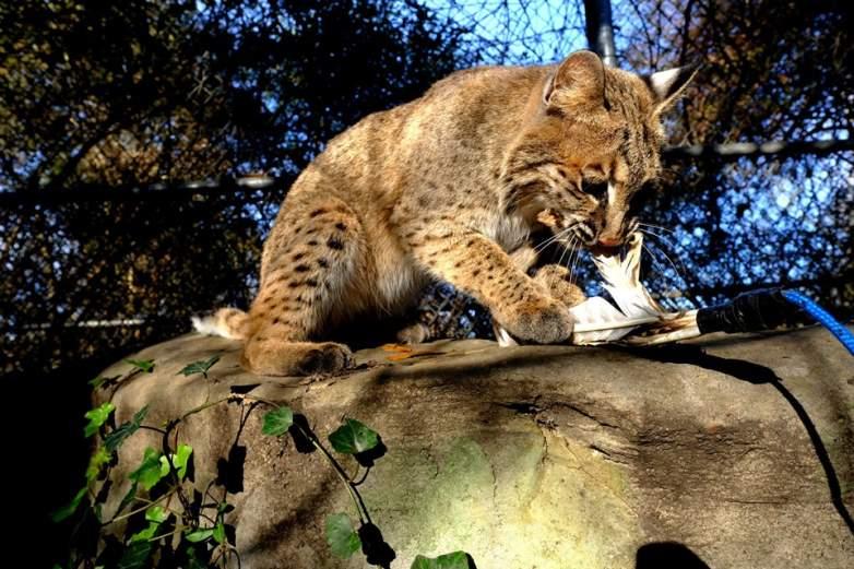 Evi the Bobcat