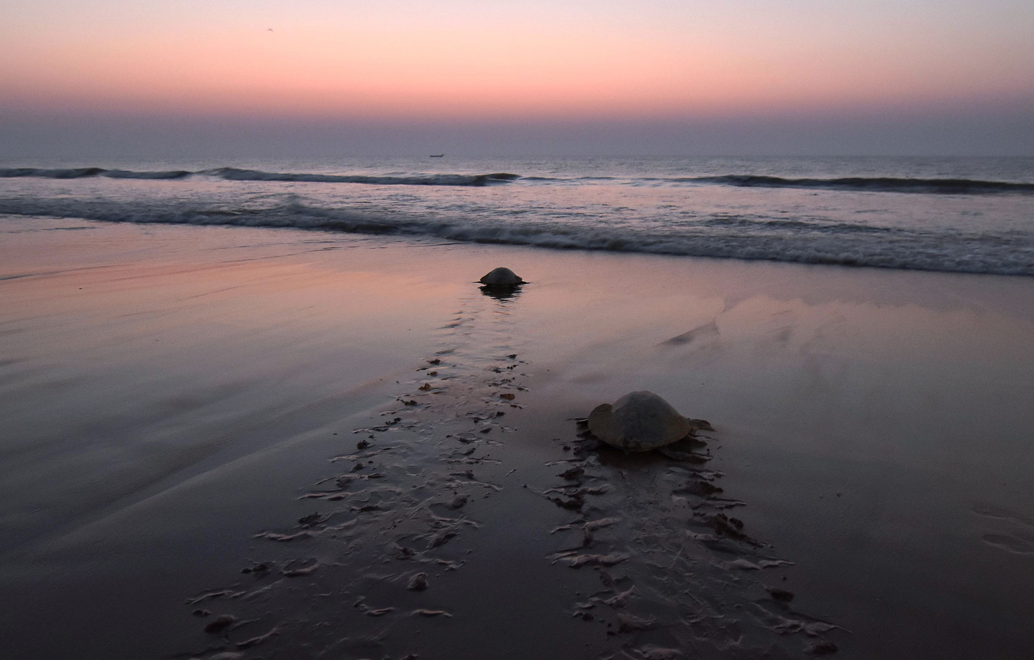 sea turtle on the beach in india