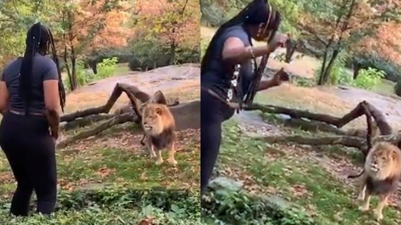 bronx zoo lion woman video