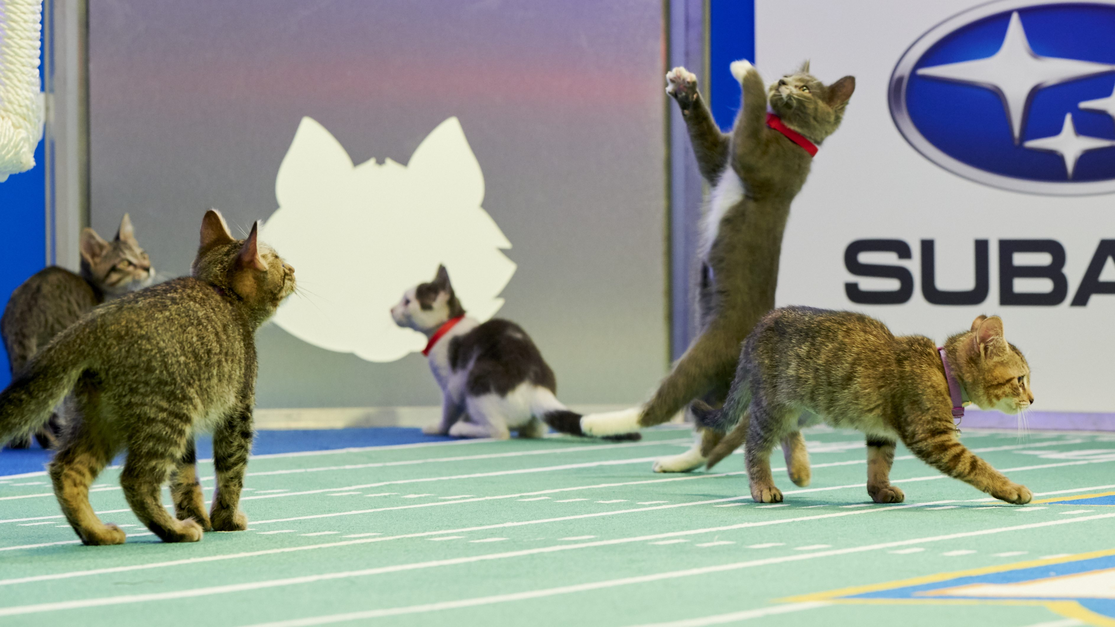 What Time Channel Is The Kitten Bowl 2020 On Tv Today Heavy Com
