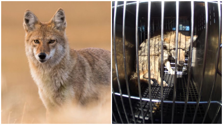 chicago coyote attacks