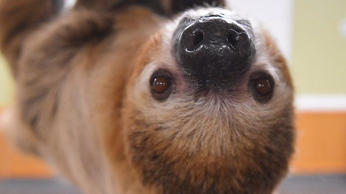 Sloth Cincinnati Zoo