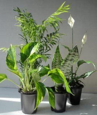 Emeritus Gardens Clean Air Plants in Pots