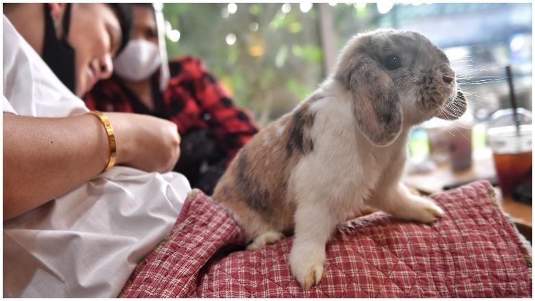 rabbit hemorrhagic disease virus, rabbit disease, calicivirus, rabbit epidemic, disease killing rabbits