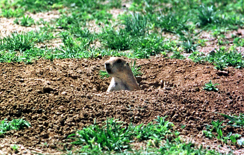 prairie dog plague