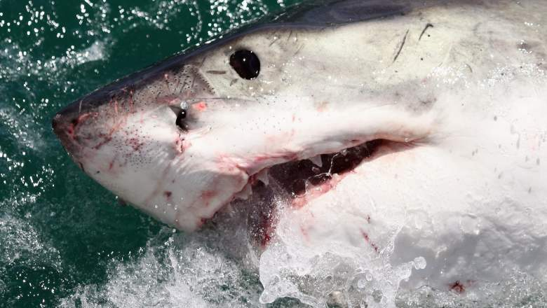 A Great White Shark is attracted by a lure on the 'Shark Lady Adventure Tour' on October 19, 2009 in Gansbaai, South Africa. The lure, usually a tuna head, is attached to a buoy and thrown into the water in front of the cage with the divers. The waters off Gansbaai are the best place in the world to see Great White Sharks, due to the abundance of prey such as seals and penguins which live and breed on Dyer Island, which lies 8km from the mainland.