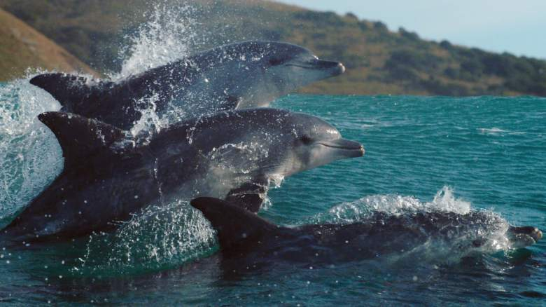 Surfing Indo-Pacific bottlenose dolphins. Surfing may be a form of play in bottlenose dolphins, which is important in developing social and cognitive skills - Planet Earth: A Celebration