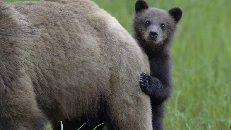 Grizzly bear (Ursus arctos horribilis) cub peering out from behind its mother, Khutzeymateen Grizzly Bear Sanctuary, British Columbia, Canada, June - Animal Babies _ Season 1, Episode 3
