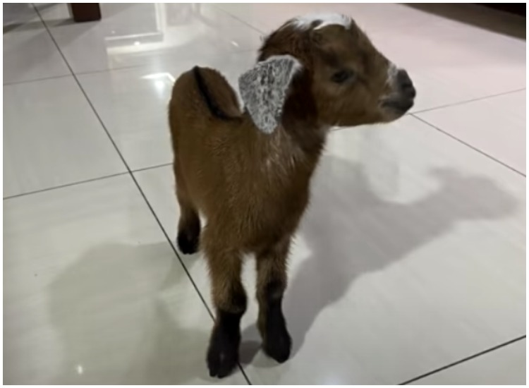 lost goat reunited