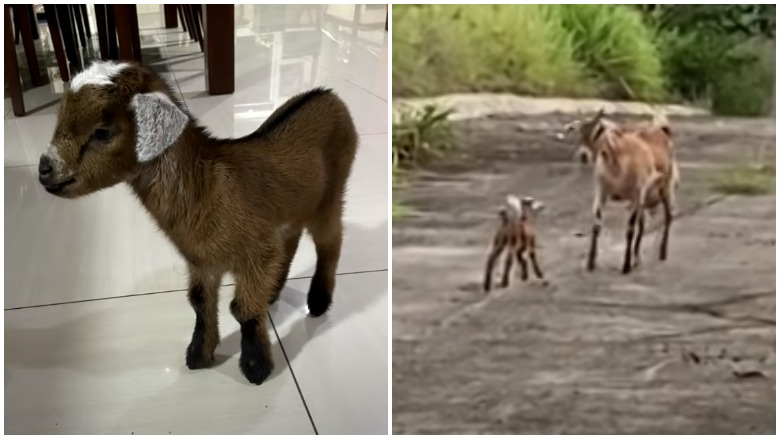lost goat reunited with family