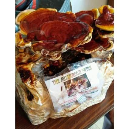 Mushroom Man Reishi Mushroom Indoor Growing Kit