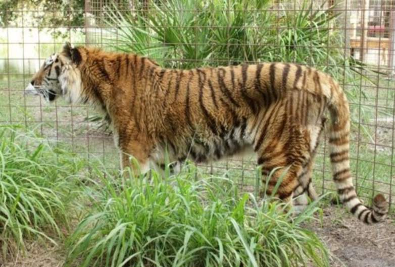 Big Cat Rescue Kimba