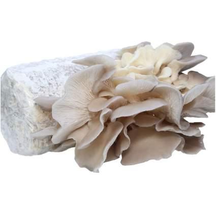 Dave Mushroom Farm Oyster Mushroom Growing Kit