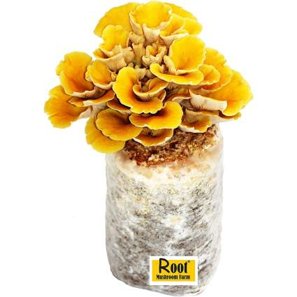 Root Mushroom Farm Golden Oyster Mushroom Growing Kit