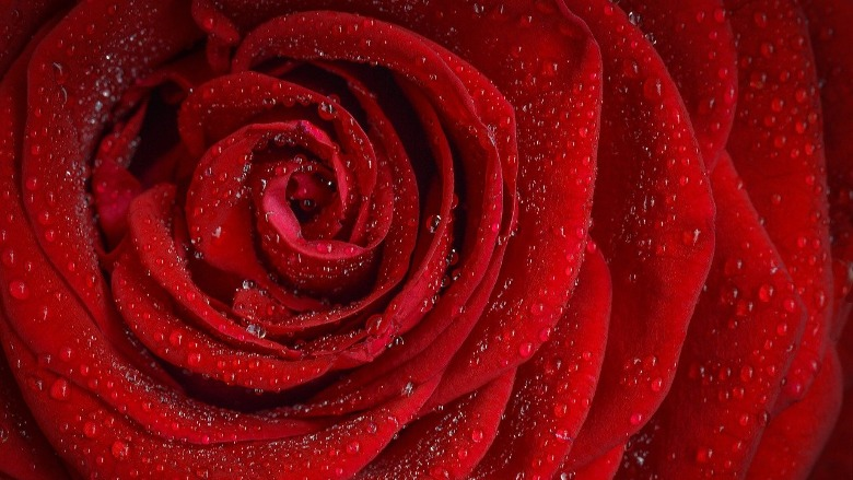 A close up of a red rose.