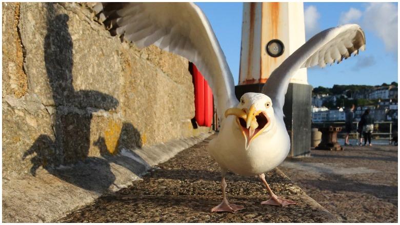 seagull eats man's tongue