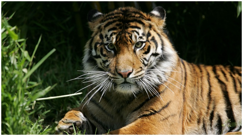 tiger west houston